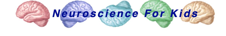 Neuroscience for Kids