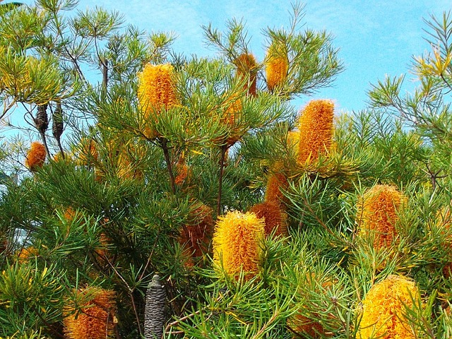 Photograph of native Banksia plant
