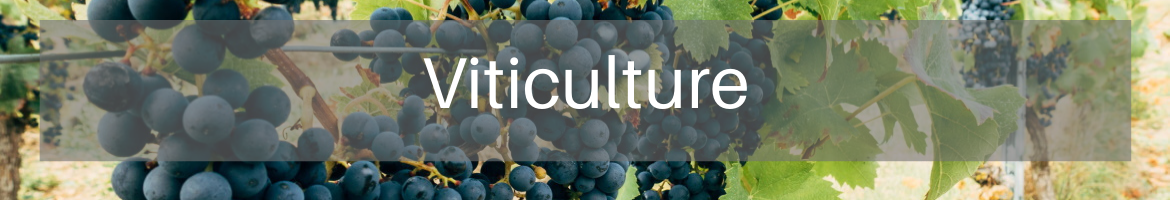 Viticulture heading graphic grapes on the vine